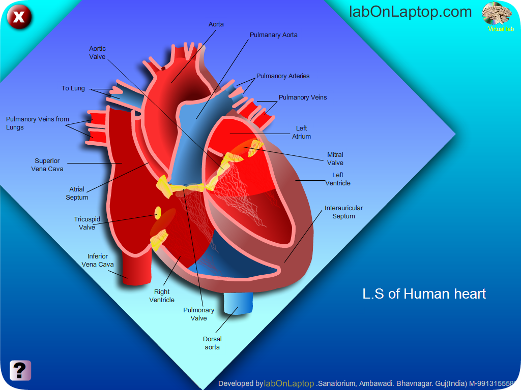Explore simple function of Heart and its Valves | labOnLaptop : Store